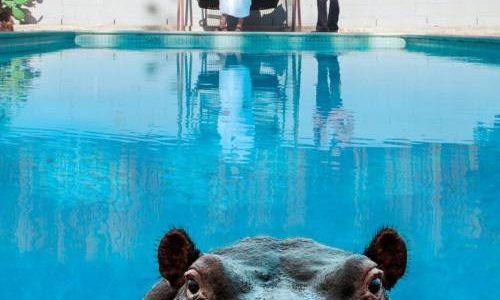 Sparks-hippopotamus